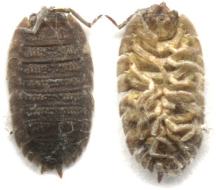 dorsal and ventral view